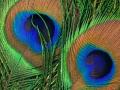 peacock3croppedclosest1600x1200.jpg