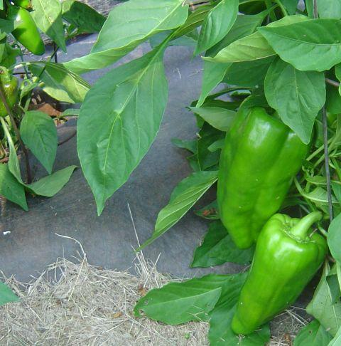 Big Bertha pepper 8-4-07