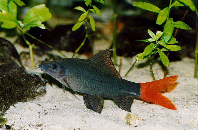 Red Tailed Black Shark - (Labeo Bicolor)